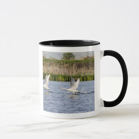 Breeding pair of tundra swans takeoff for mug