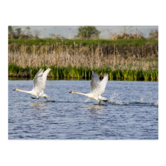Breeding pair of tundra swans takeoff for postcard