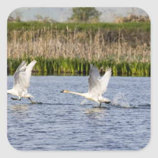 Breeding pair of tundra swans takeoff for stickers
