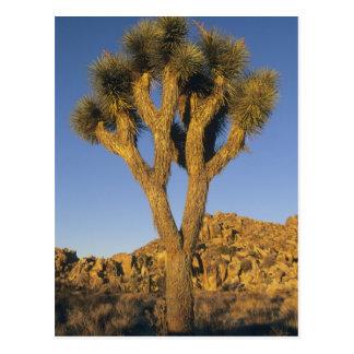 Brevifolia de la yuca, de la yuca), y granito tarjeta postal