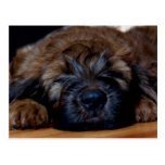 briard puppy postcard