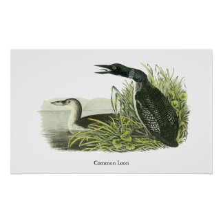 Bribón común Juan Audubon Posters