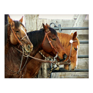 Bridled Horse Heads Postcard