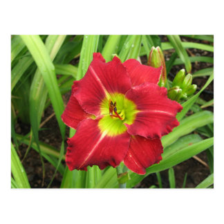 Bright and Cheery Red Daylily Postcard