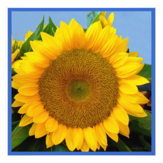 Bright Blue Sunflower Photographic Print