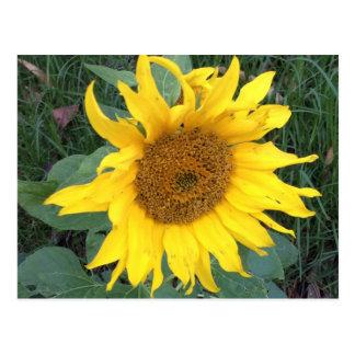 Bright Cheery Yellow Sunflower Postcard