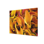 Bright colorful calla lilies at the canvas print