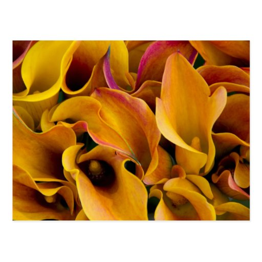 Bright colorful calla lilies at the postcard
