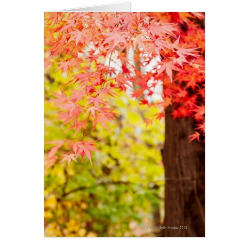 Bright colors of Japanese maple tree in autumn Greeting Card