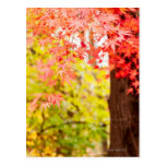 Bright colors of Japanese maple tree in autumn Postcard