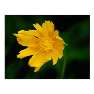 Bright Coreopsis flower and meaning Postcard