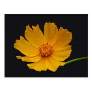 Bright Coreopsis flower Postcard