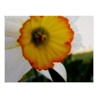 Bright Daffodil poster