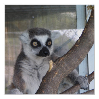 Bright eyed Lemur Poster
