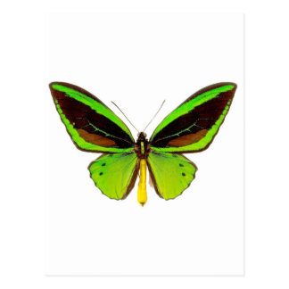 Bright Green Butterfly Postcard