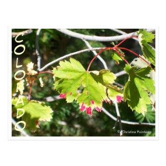 Bright Leaves -CO Postcard