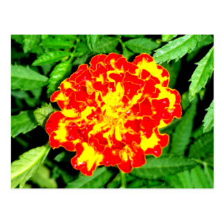 Bright Marigold Postcard