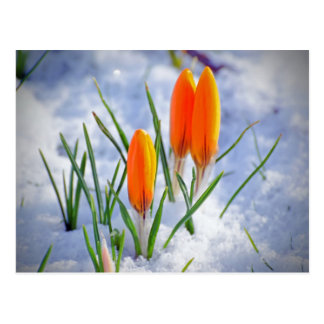 Bright Orange Fresh Spring Flower Buds in Snow Postcard