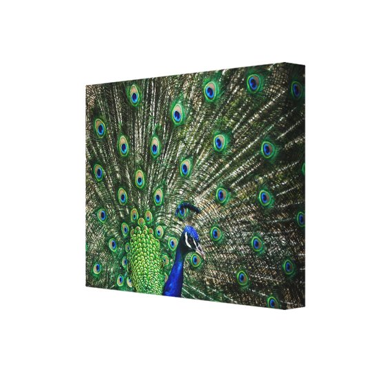 Bright Peacock Canvas Print