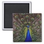 Bright Peacock Fridge or Locker Magnet