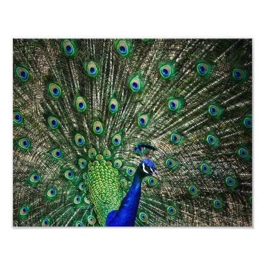 Bright Peacock Photo Print