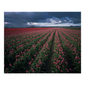 Bright pink and red tulips glow under dark poster