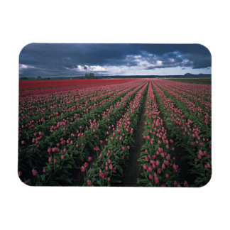 Bright pink and red tulips glow under dark rectangle magnets
