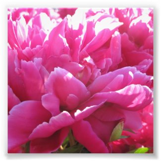Bright Pink Endless Peony Flowers