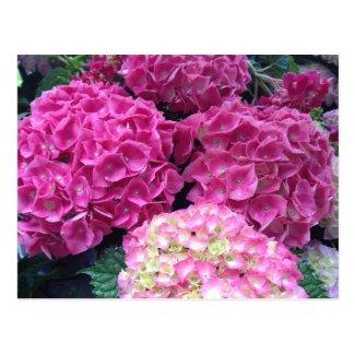 Bright Pink Hydrangea Flowers