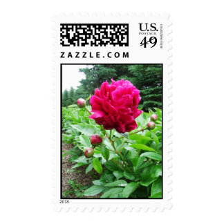 Bright Pink Peony Postage Stamps