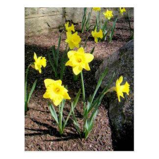 Bright Pretty Yellow Tulips Postcard