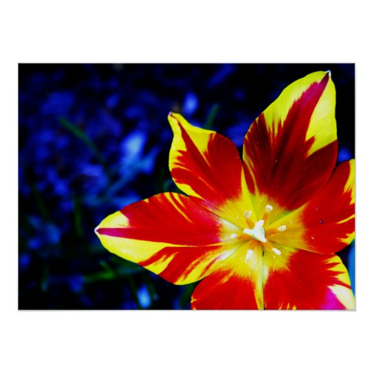 Bright Red and Yellow Lily Closeup Poster