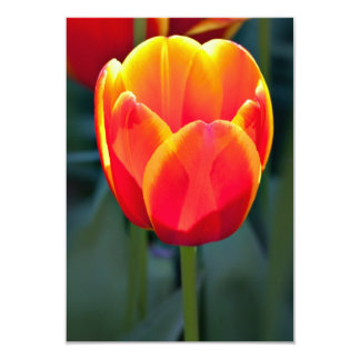 Bright red and yellow tulip bloom on green card