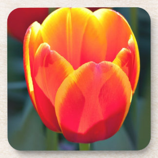 Bright red and yellow tulip bloom on green drink coaster