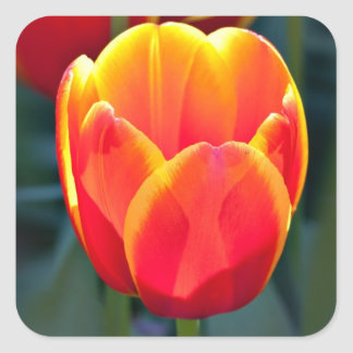 Bright red and yellow tulip bloom on green square sticker