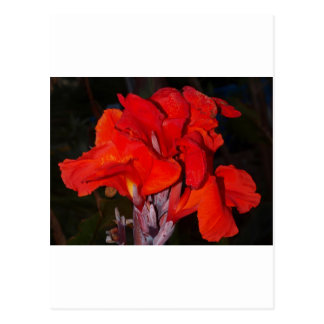 Bright red canna lily postcard