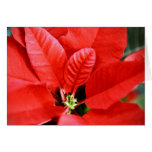Bright Red Christmas Poinsettia Greeting Cards