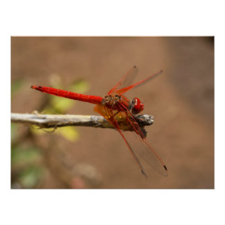 Bright Red Dragonfly Poster