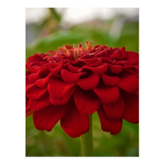 Bright Red Flower (Gift) Postcard
