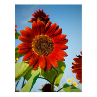 Bright Red Flowers in the Sun Postcard