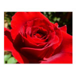 Bright Red Rose Flower Beautiful Floral Postcard