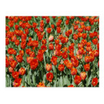Bright Red Tulips Postcard