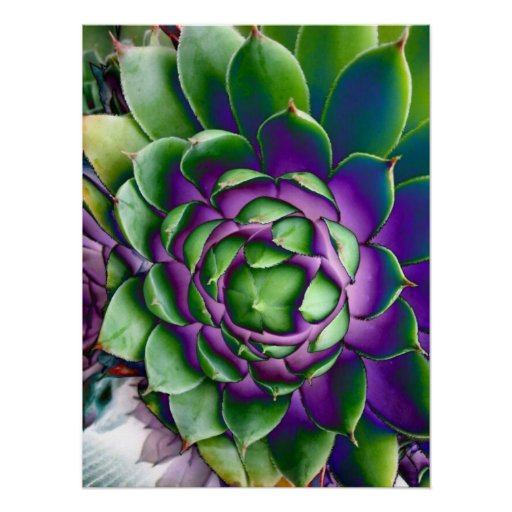 Bright Succulent Hens and Chicks Poster