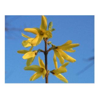 Bright Yellow Forsythia Flowers Flower Photo Postcard