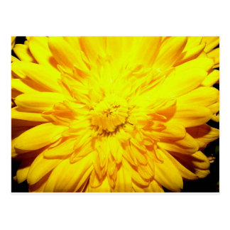 Bright Yellow Mum postcard