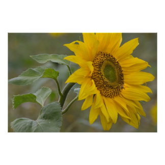 Bright yellow sunflower close-up photo CC0034 Poster