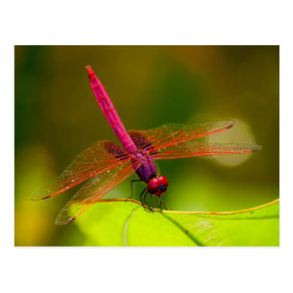 Brightly Colored Dragonfly Postcard