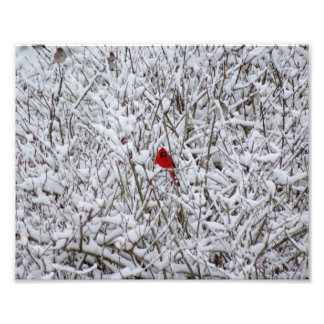 Brillant Cardinal ! 10x8 Photographic Print