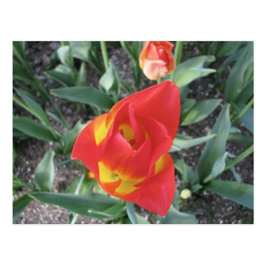 Brilliant orange and yellow Tulips Postcard