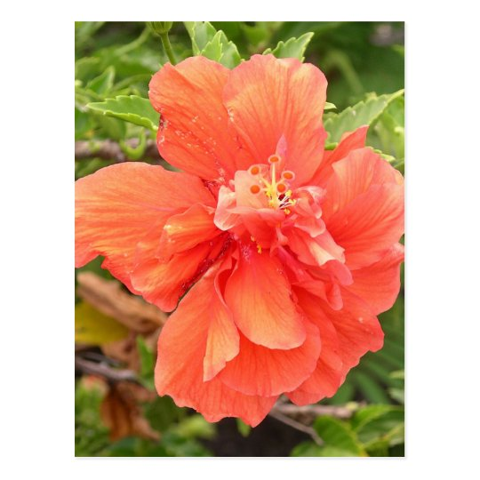 Brilliant Orange Hibiscus Postcard